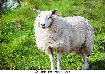 nyfiken, sheep, in, fjäder