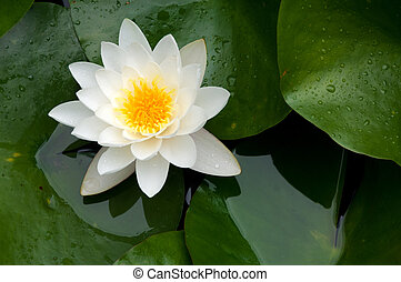 Nymphaea alba - blooming white water lily in the pond in the...