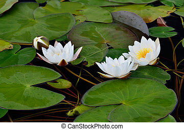 Nymphaea alba (water lily) - Beautiful white flower water...
