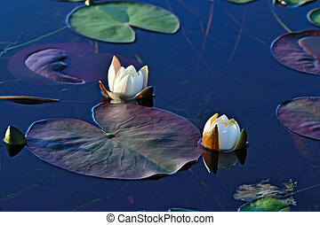 Nymphaea alba (water lily) - Beautiful white flowers water...