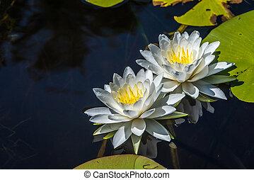 Nymphaea alba, White Waterlily. Grundy Lake. Canada.