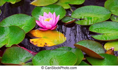 Nymphaea aquatic plant - Nymphaea flower in pond at rainy...