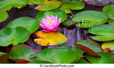 Nymphaea flower in pond at rainy day with a sliding camera slow motion. Aquatic Plant on Water. Raindrops falling into lake