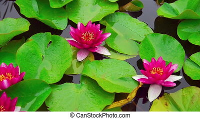 Nymphaea aquatic plant - Nymphaea flower in pond at sunny...