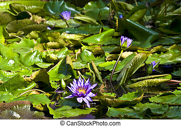 Nymphaea - beautiful violet nymphaea growing on a lake