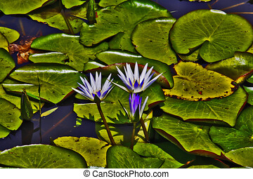 Nymphaea Blue Egyptian water lily caerulea