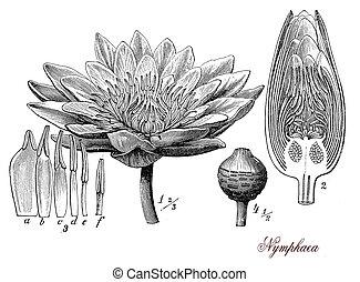 Nymphaea, botanical vintage engraving