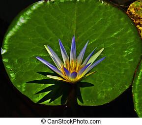 Nymphaea caerulea  Nymphaeaceae garden lake