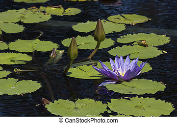 Nymphaea nouchali in lake in front of water plant