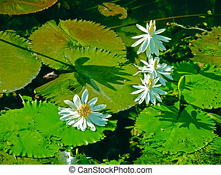 Nymphaea odorata. White Lotus, Water Lilly flowers in a water pond