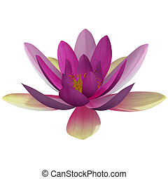 Nymphaea is a genus of hardy and tender aquatic plants in...