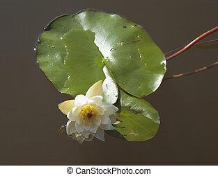 Nymphaea tetragona Pygmy Waterlily - Nymphaea tetragona,...