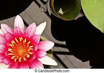 Nymphaea Water lilly  - Nymphaea Water lilly