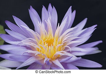 Nymphaea Waterlilly - A beautiful Nymphaea 'Alexis' ...