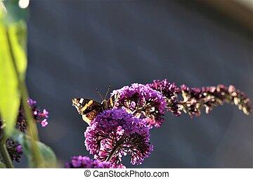 Nymphalidae,Admiral Vanessa atalanta butterfly on a lilac