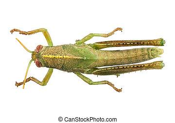 nymphe, von, ägypter, heuschrecke, arten, anacridium,...