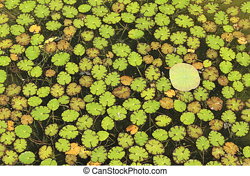 Nymphoydes peltata leaves floating dense on water surface