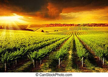 nyomasztó, szőlőskert, napnyugta