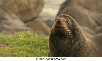 NZ Fur seal 2363