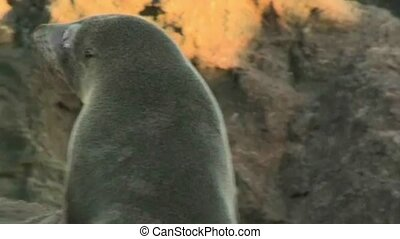 NZ Fur Seal 2375