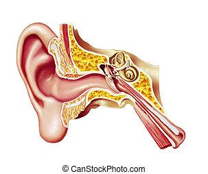 oído humano, cutaway, diagram.