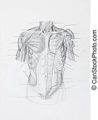 ołówek, mięśnie, szczegół, papier, ludzki, przód, biały,...