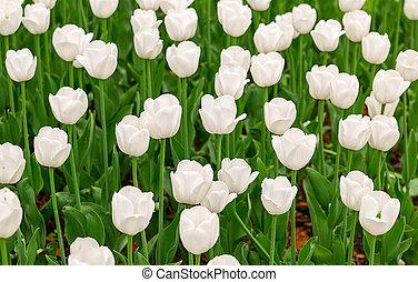 oświetlany, tulipan, soczysty, światło słoneczne, pole, jasny, kwiaty, śnieżnobiały