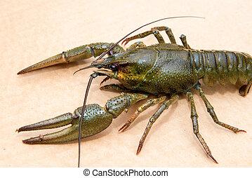 o, cangrejo río, europa, comida europea, más, especie, broad...