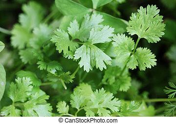 o, hojas, fresco, organically, sativum), crecido, coriander(...