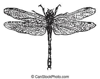 o, libélula, demoiselle, engraving., vendimia
