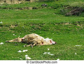 o, savaged, muerto, perros, wolves., sheep, -, problem., ...