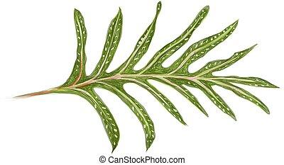 o, scolopendria, monarca, ilustración, phymatosorus, helecho