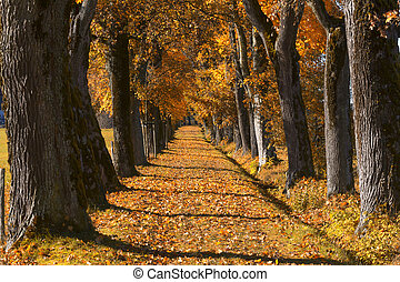 Oak alley with autumn leaves in Bavaria, Germany