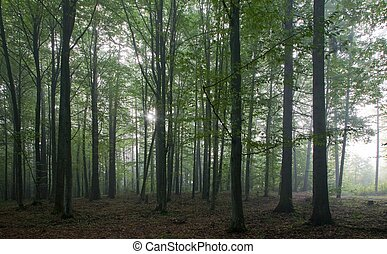 Oak and hornbeam trees against light of morning in late...