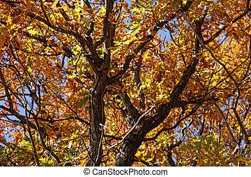 Oak Autumn Glory