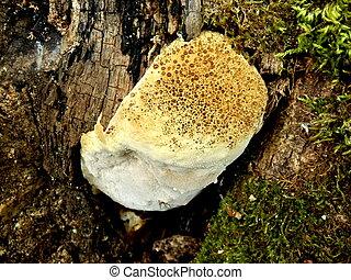 Oak Bracket Fungus - Oak Bracket (Inonotus dryadeus) aka...