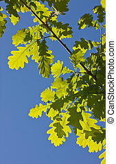 oak branch in the spring