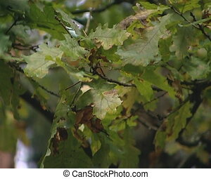 Oak branch moving in the wind. Natural forest detail.