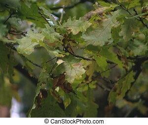 Oak branch moving in the wind.