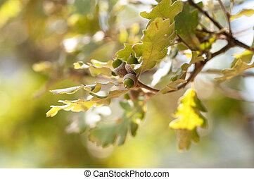Oak branch with acorns .