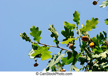 Oak branch with acorns on a background of blue sky
