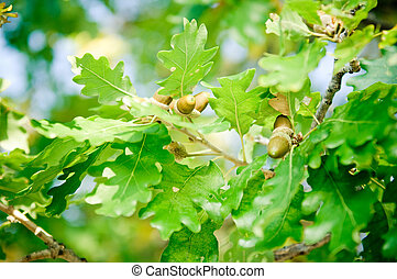 Oak Branch with Acorns