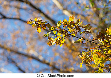 oak branch with autumn leaves