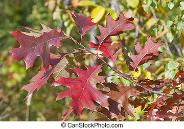 Oak branch with red autumn leaves