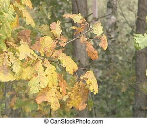 Oak branch with yellow leaves moving in the wind. Natural View.
