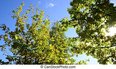 oak branches on the background of sky in early autumn
