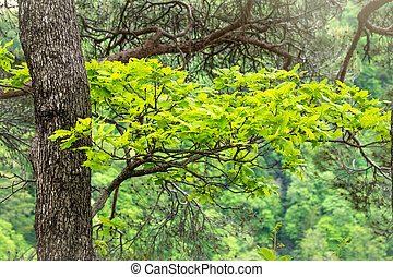 Oak branches with green leaves on a natural blurred background