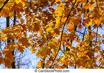 Oak Branches with Yellow Autumn Leaves