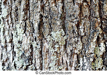 oak cortex closeup, texture - oak cortex closeup, bark...