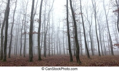 Oak forest at the autumntime, with fog